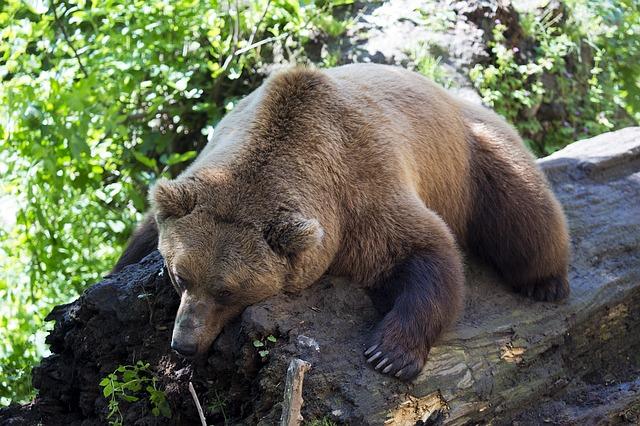 european-brown-bear-1477814_640
